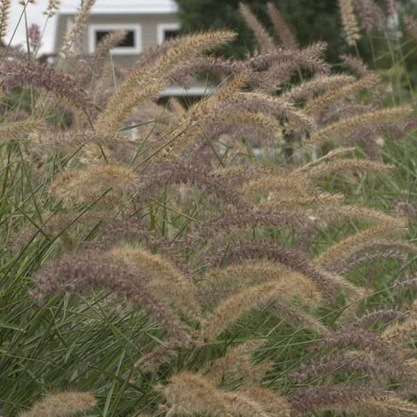 PENNISETUM KARLEY ROSE FOUNTAIN GRASS