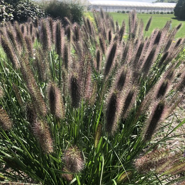 PENNISETUM PUPPY LOVE FOUNTAIN GRASS