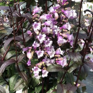 PENSTEMON MIDNIGHT MASQUERADE BEARDTONGUE