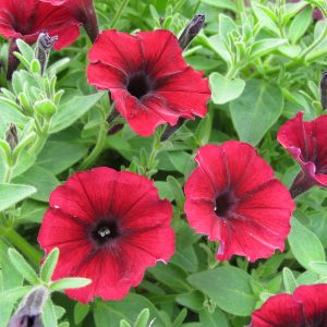 PETUNIA SUPERTUNIA BLACK CHERRY PETUNIA