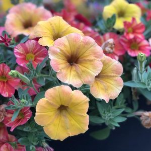 PETUNIA SUPERTUNIA HONEY PETUNIA