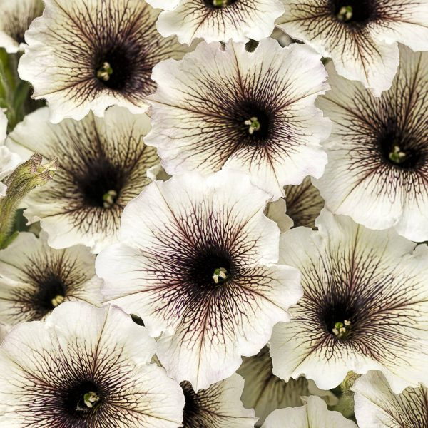 PETUNIA SUPERTUNIA LATTE PETUNIA
