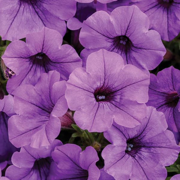 PETUNIA SUPERTUNIA MINI VISTA INDIGO PETUNIA