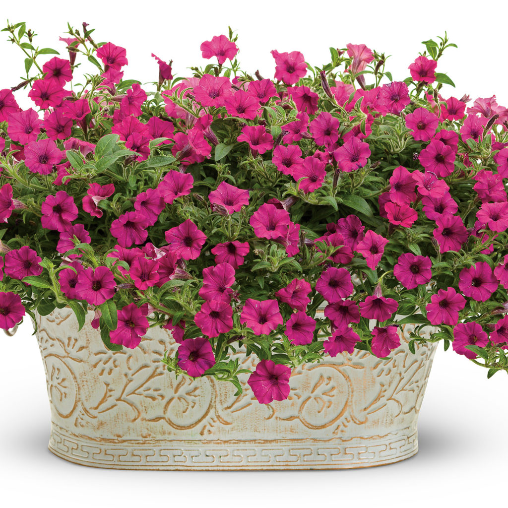 PETUNIA SUPERTUNIA MINI VISTA SANGRIA PETUNIA
