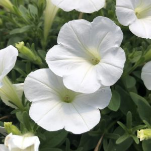 PETUNIA SUPERTUNIA MINI VISTA WHITE PETUNIA