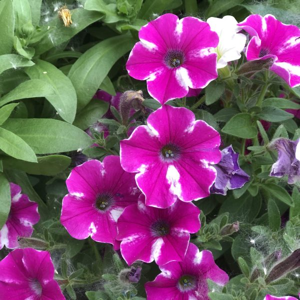 PETUNIA SUPERTUNIA RASPBERRY RUSH PETUNIA