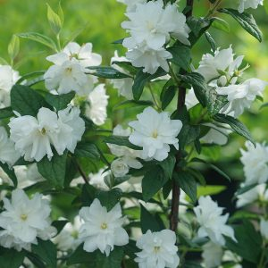 PHILADELPHUS ILLUMINATI ARCH MOCK ORANGE
