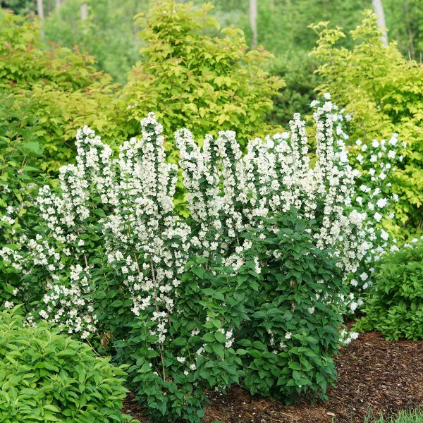 PHILADELPHUS ILLUMINATI TOWER MOCKORANGE
