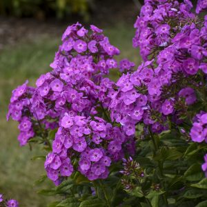 PHLOX GARDEN GIRLS COVER GIRL TALL GARDEN PHLOX