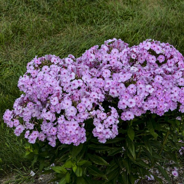 PHLOX GARDEN GIRLS UPTOWN GIRL TALL GARDEN PHLOX