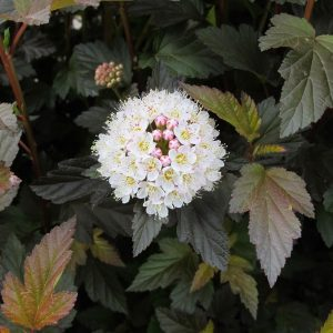 PHYSOCARPUS COPPERTINA NINEBARK