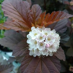 PHYSOCARPUS GINGER WINE NINEBARK