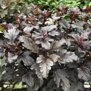 PHYSOCARPUS SUMMER WINE BLACK NINEBARK
