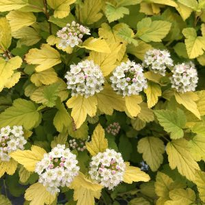 PHYSOCARPUS TINY WINE GOLD NINEBARK