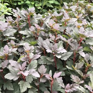 PHYSOCARPUS TINY WINE NINEBARK