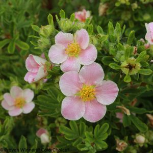 POTENTILLA HAPPY FACE PINK PARADISE POTENTILLA