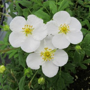 POTENTILLA HAPPY FACE WHITE POTENTILLA