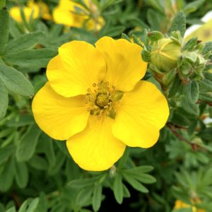 POTENTILLA HAPPY FACE YELLOW POTENTILLA