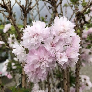 Cherry, Ornamental - Prunus
