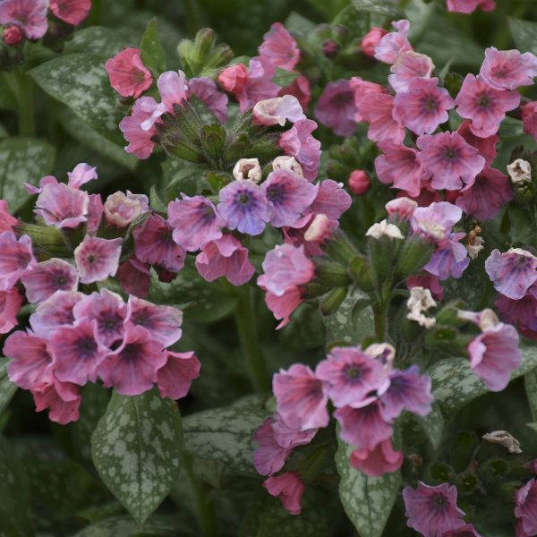PULMONARIA PRETTY IN PINK LUNGWORT