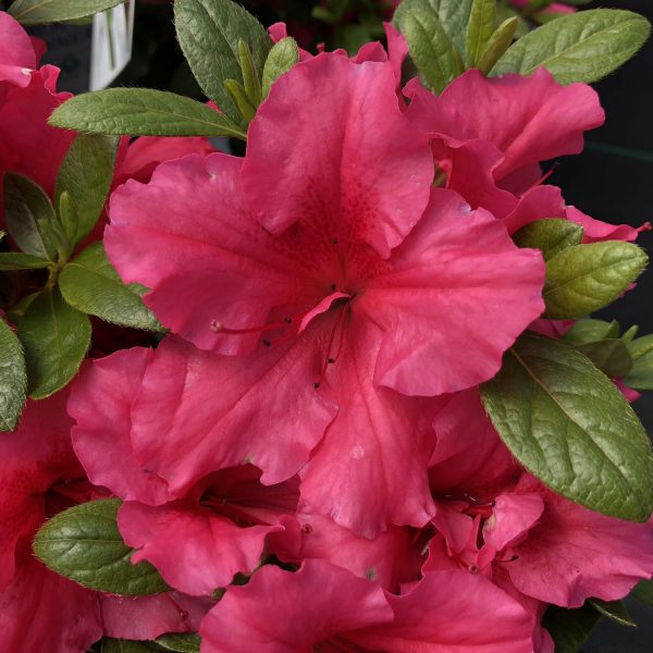 RHODODENDRON BLOOM A THON HOT PINK REBLOOMING AZALEA