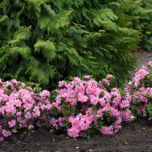 RHODODENDRON BLOOM A THON PINK DOUBLE REBLOOMING AZALEA