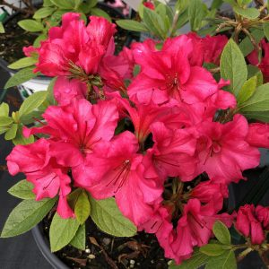 RHODODENDRON BLOOM A THON RED REBLOOMING AZALEA