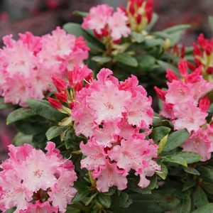 RHODODENDRON DANDY MAN COLOR WHEEL RHODODENDRON