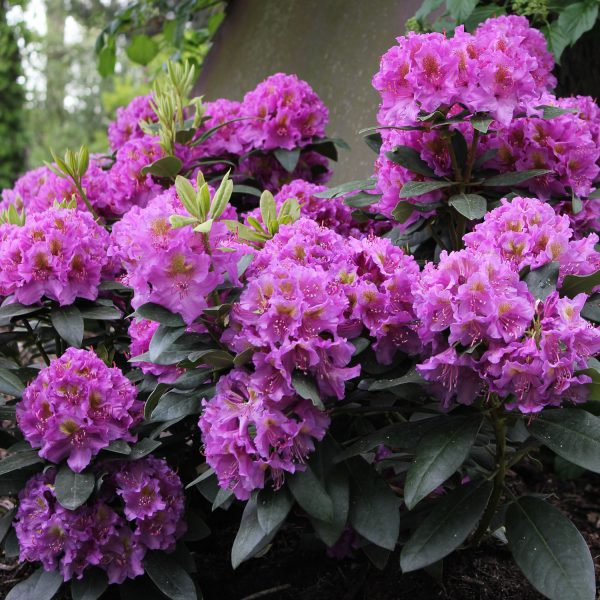 RHODODENDRON DANDY MAN PURPLE RHODODENDRON