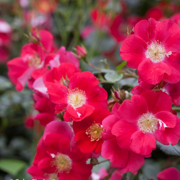 ROSA OSO EASY CHERRY PIE ROSE LANDSCAPE