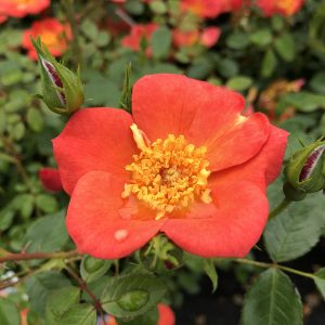 ROSA OSO EASY HOT PAPRIKA ROSE LANDSCAPE