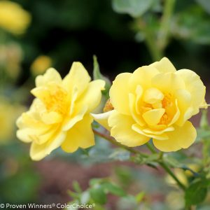 ROSA OSO EASY LEMON ZEST ROSE LANDSCAPE