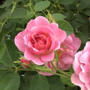 ROSA OSO EASY PETIT PINK ROSE LANDSCAPE