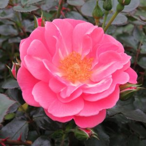 ROSA OSO EASY PINK CUPCAKE ROSE LANDSCAPE