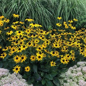 RUDBECKIA LITTLE GOLDSTAR BLACK EYED SUSAN