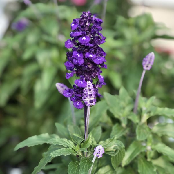 SALVIA EVOLUTION SAGE