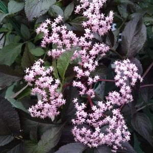SAMBUCUS BLACK BEAUTY ELDERBERRY