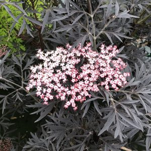 Elderberry - Sambucus