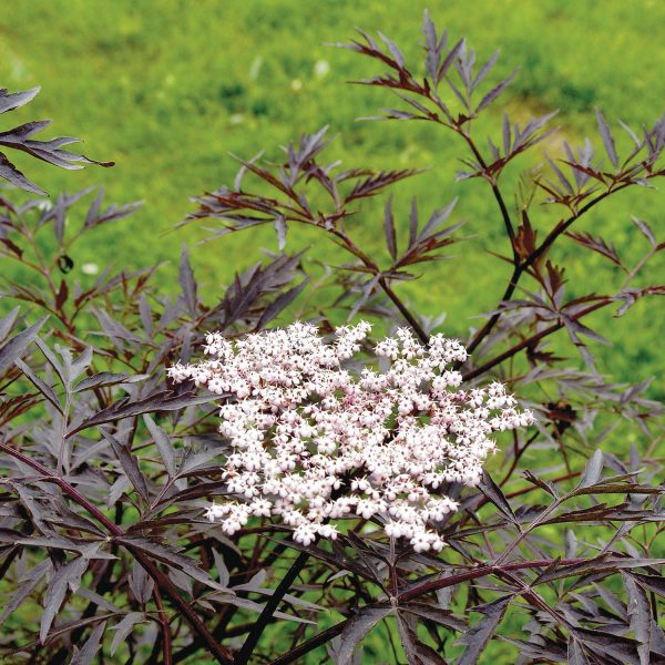 SAMBUCUS BLACK LACE ELDERBERRY
