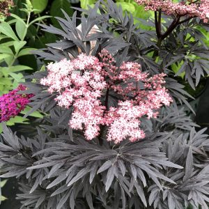 SAMBUCUS LACED UP ELDERBERRY