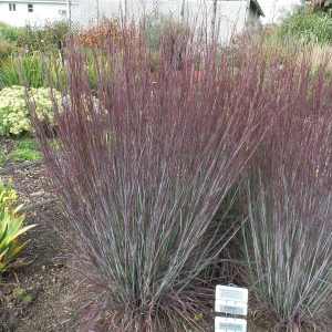 SCHIZACHYRIUM PRAIRIE WINDS BLUE PARADISE LITTLE BLUESTEM