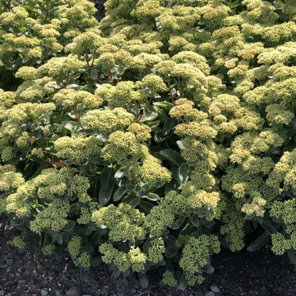 SEDUM ROCK N GROW LEMONJADE STONECROP
