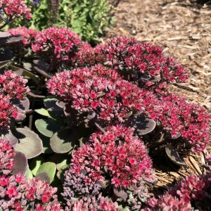 SEDUM ROCK N GROW SUPERSTAR STONECROP