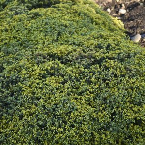 SEDUM ROCK N GROW YELLOW BRICK ROAD STONECROP