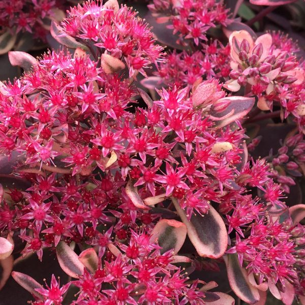 SEDUM SUNSPARKLER DREAM DAZZLER STONECROP