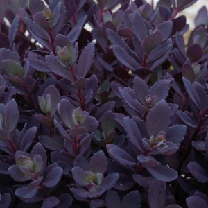 SEDUM SUNSPARKLER PLUM DAZZLED STONECROP