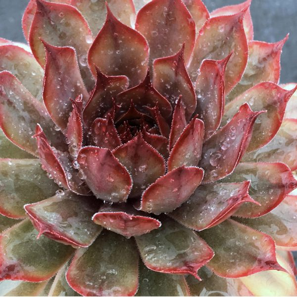 SEMPERVIVUM CHICK CHARMS AUTUMN APPLE HEN AND CHICKS