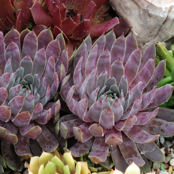 SEMPERVIVUM CHICK CHARMS BERRY BLUES HEN AND CHICKS