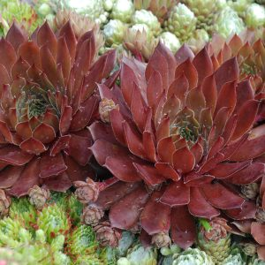 SEMPERVIVUM CHICK CHARMS BING CHERRY HEN AND CHICKS