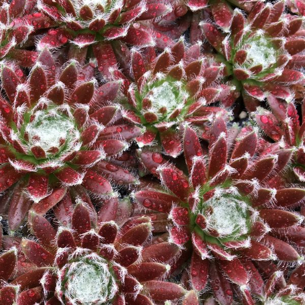 SEMPERVIVUM CHICK CHARMS COSMIC CANDY HEN AND CHICKS
